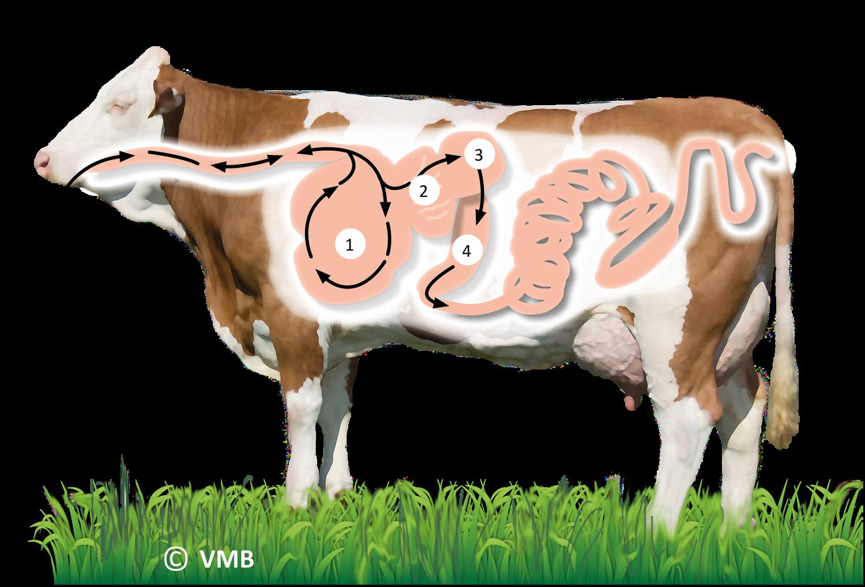 Verdauung Kuh